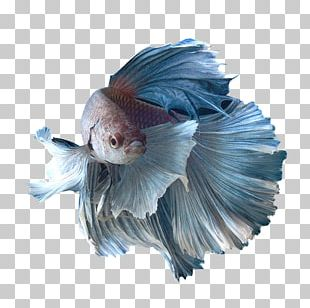 Siamese Fighting Fish Honey Gourami Spotfin Betta Goldfish PNG