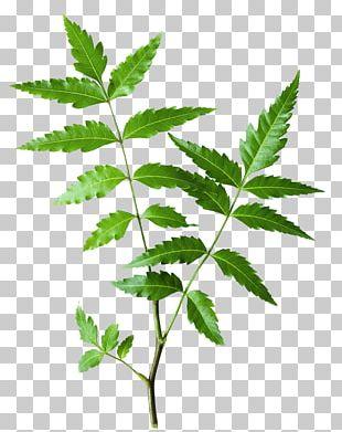 Neem Tree The Himalaya Drug Company Neem Oil Ayurveda Herb PNG