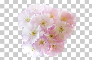 Flower Cherry Blossom PNG