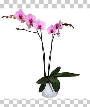 Moth Orchids Cut Flowers Pink M Flowerpot Plant Stem PNG