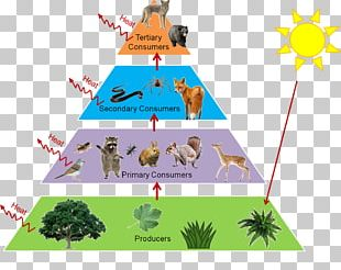 Trophic Level Food Web Food Chain Ecological Pyramid Ecology PNG