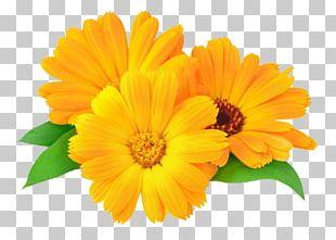 Calendula Officinalis Marigold Flower Oil Skin PNG