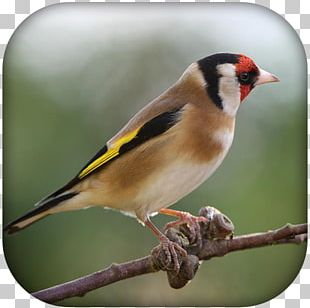 Domestic Canary Bird Finches European Goldfinch Passerine PNG