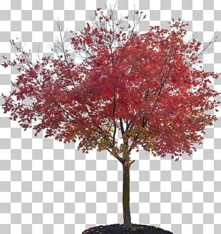 Tree Sugar Maple Red Maple Japanese Maple Plant PNG