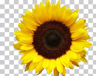 Portable Network Graphics Common Sunflower Transparency PNG