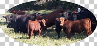 Angus Cattle Jersey Cattle Red Angus Hereford Cattle Aberdeen PNG