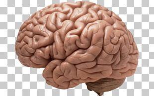 Brain Realistic PNG