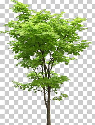Tree Oak Japanese Maple Acer Truncatum Plant PNG