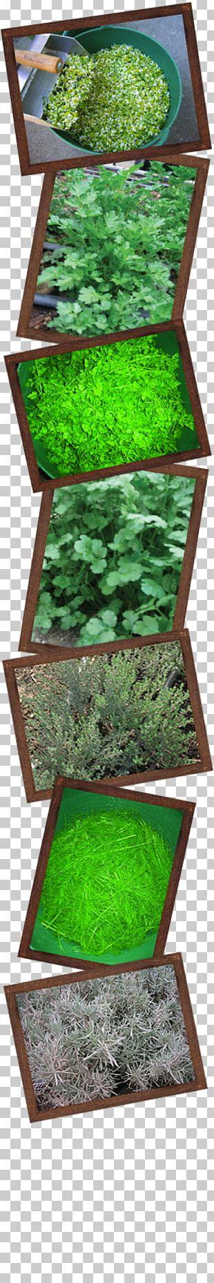 Oregano Herb Organic Food Spice Marjoram PNG