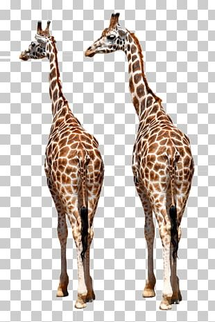 Reticulated Giraffe Okapi Giraffe Family African Wild Dog Northern Giraffe PNG