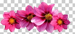 Pink Flowers Rose Dahlia PNG