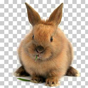 Domestic Rabbit Lionhead Rabbit Guinea Pig Netherland Dwarf Rabbit Californian Rabbit PNG