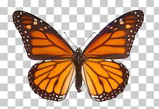 The Monarch Butterfly Milkweed Butterflies PNG