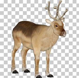White-tailed Deer Elk Peary Caribou Antler PNG