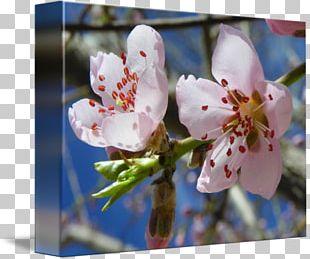 Cherry Blossom Flower Spring Petal PNG