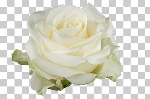 Garden Roses White Cut Flowers Floristry PNG