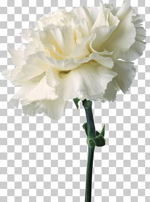 Carnation Cut Flowers Birth Flower Flower Bouquet PNG