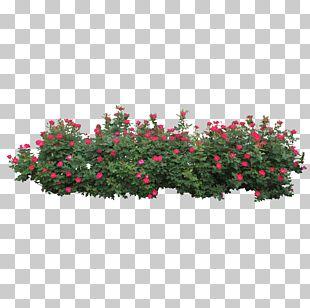 Centifolia Roses Shrub Tree PNG