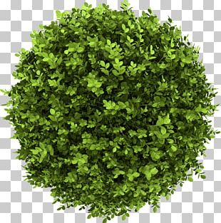 Buxus Sempervirens Shrub Stock Photography Tree PNG