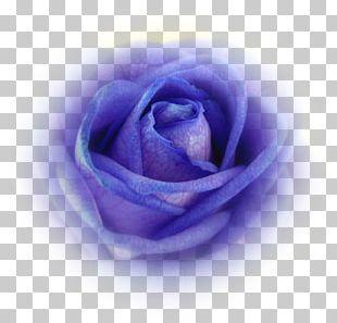 Blue Rose Cabbage Rose Garden Roses Petal PNG