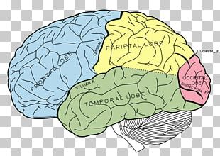 Lobes Of The Brain Parietal Lobe Frontal Lobe Human Brain PNG