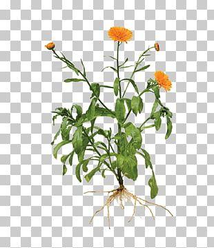 Calendula Officinalis Root Marigold Plant PNG