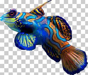 Synchiropus Splendidus Fish Ocellated Dragonet Reef Aquarium PNG