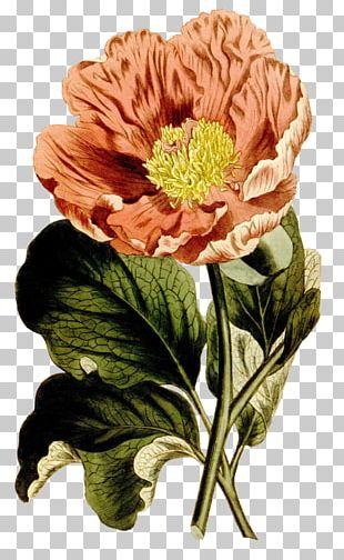 Floral Design Botanical Illustration Botany Drawing Flower PNG