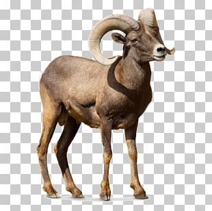 Barbary Sheep Argali Goat Cattle PNG