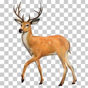 White-tailed Deer Red Deer PNG