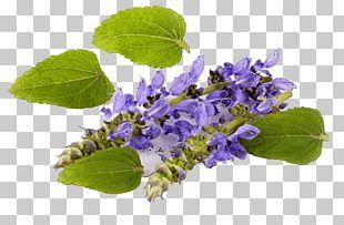 Plectranthus Barbatus Forskolin Coleus Mints Medicinal Plants PNG