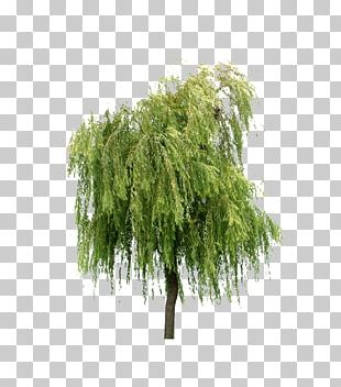 Willow Tree Layers PNG