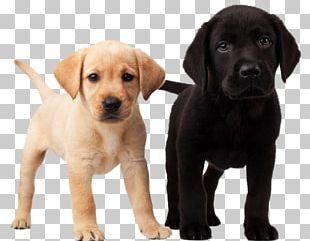 Labrador Retriever Puppy Dalmatian Dog Golden Retriever PNG