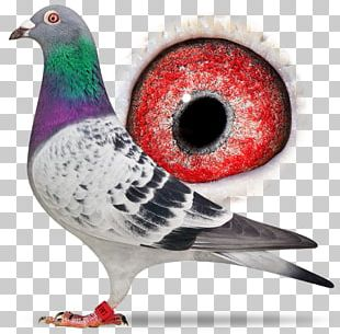 Columbidae Homing Pigeon Racing Homer Pigeon Racing Bird PNG