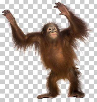 Common Chimpanzee Gorilla Monkey Primate Sumatran Orangutan PNG