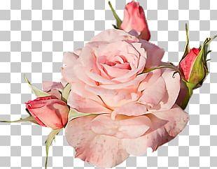 Garden Roses Rose Garden Flower PNG