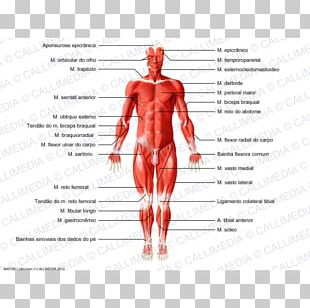 Muscle Human Body Human Anatomy Muscular System PNG