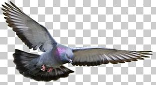 Homing Pigeon Racing Homer Columbidae Fancy Pigeon Bird PNG