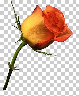 Still Life: Pink Roses Valentine's Day PNG