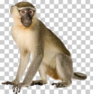 Primate Monkey Gorilla Macaque Gray Langur PNG