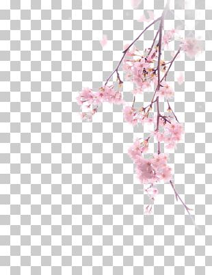 Cherry Blossom Illustration PNG