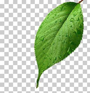 Light Leaf Green Drop Dew PNG