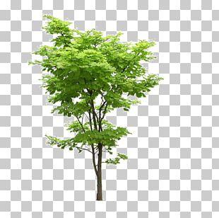 Japanese Maple Tree Acer Truncatum Acer Oliverianum Var. Nakaharai PNG
