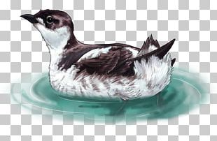 Bird Marbled Murrelet Drawing Ancient Murrelet PNG