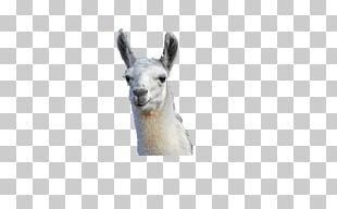 Llama Camel Alpaca Gift Animal PNG