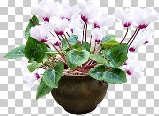 Flowerpot Plant Cyclamen Persicum PNG
