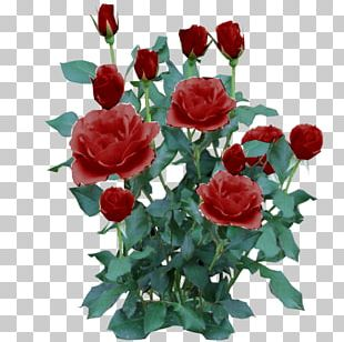 Rose Shrub Flower Plant PNG