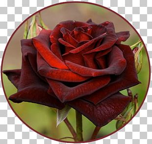 Black Rose Blue Rose Flower Garden Roses PNG