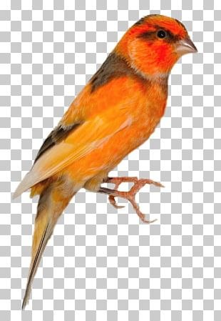 Domestic Canary House Finch Bird Finches Passerine PNG