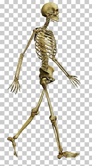 Human Skeleton Bone Skull Human Body PNG